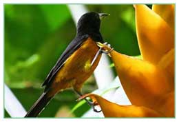 Montserrat Oriole National Bird Heliconia National Flower
